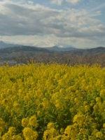 菜の花と富士山「吾妻山」二宮に行ってみました。